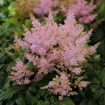 ASTILBE 'Sugarberry'