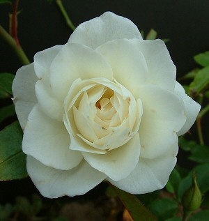 Iceberg Rose Bush Reviews
